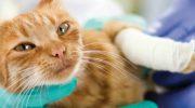 Хирургическая обработка ран животных